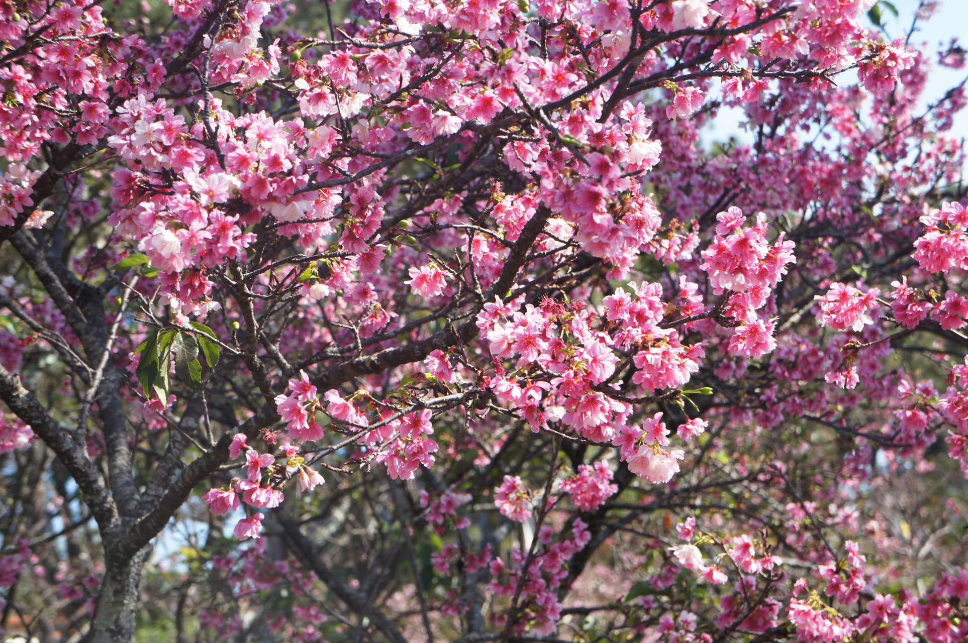 Garça Festa das Cerejeiras